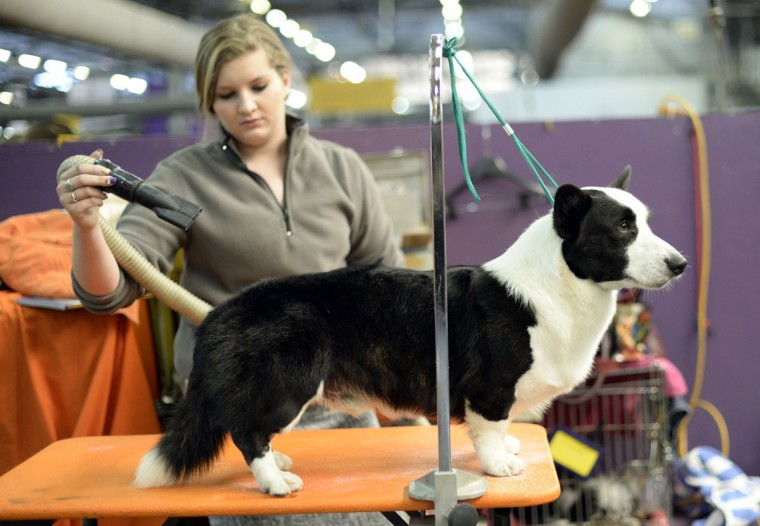 Handler Jaclyn Smith with her Pembroke Welsh Corgi waits in the benching area at Pier 92 and 94 in New York City for the first day of competition at the 138th Annual Westminster Kennel Club Dog Show February 10, 2014. (Timothy Clary/AFP/Getty Images)
