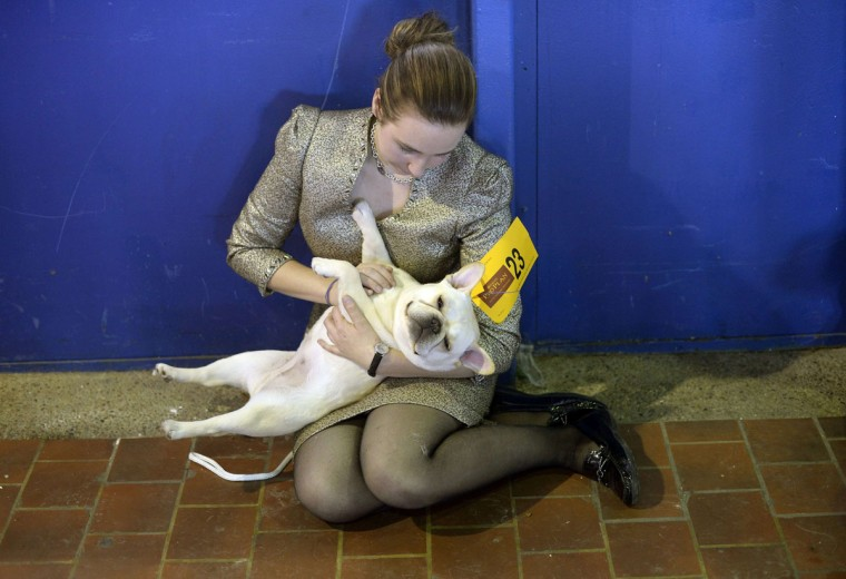 Amanda Mcallister and Laurel the French Bulldog play in the benching area at Pier 92 and 94 in New York City for the first day of competition at the 138th Annual Westminster Kennel Club Dog Show February 10, 2014. (Timothy Clary/AFP/Getty Images)