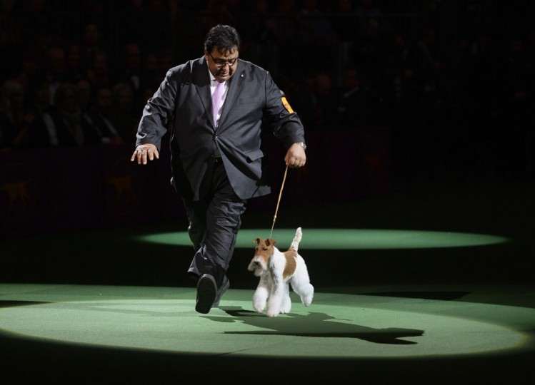 "Sky, a wire fox terrier with handler Gabriel Rangel wins ""Best in Show"" of the 138th Annual Westminster Kennel Club Dog Show February 11, 2014 at Madison Square Garden. (Timothy Clary/AFP/Getty Images)"