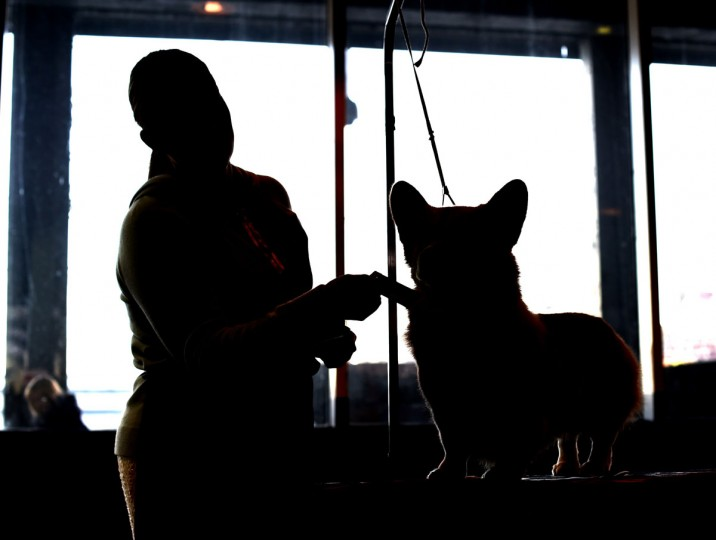 A handler and a Corgi in the benching area at Pier 92 and 94 in New York City on the first day of competition at the 139th Annual Westminster Kennel Club Dog Show February 16, 2015. (Timothy Clary/AFP/Getty Images)