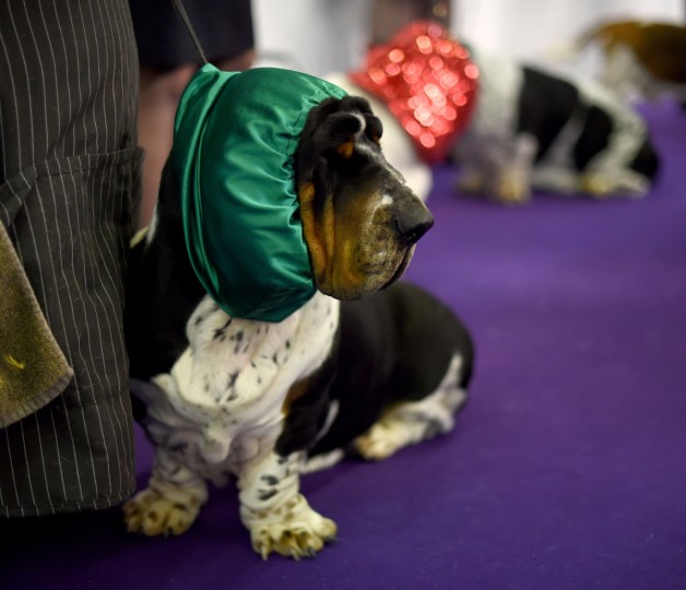 A basset Hound in the benching area at Pier 92 and 94 in New York City on the first day of competition at the 139th Annual Westminster Kennel Club Dog Show February 16, 2015. (Timothy Clary/AFP/Getty Images)