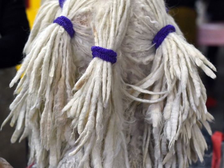 A Komondor in the benching area at Pier 92 and 94 in New York City on the 2nd day of competition at the 139th Annual Westminster Kennel Club Dog Show February 17, 2015. (Timothy Clary/AFP/Getty Images)