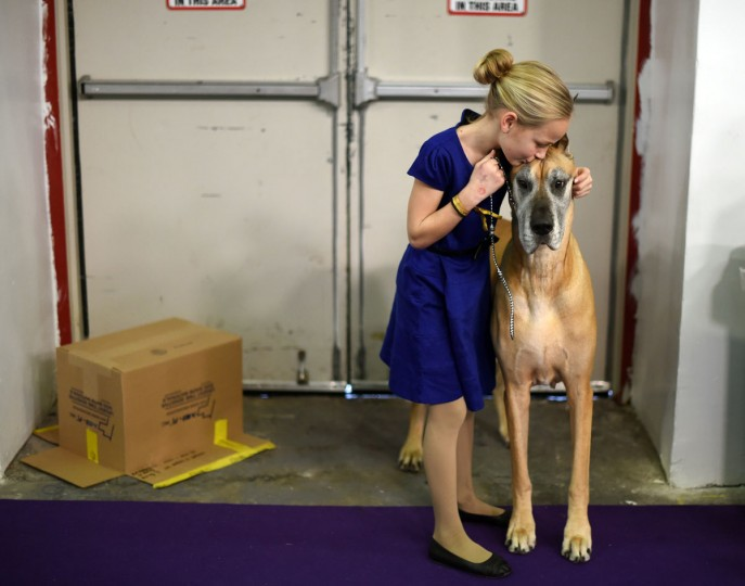 "Emma Rogers, 11, from Columbus, New Jersey, and Great Dane ""Joy"" in the benching area at Pier 92 and 94 in New York City on the 2nd day of competition at the 139th Annual Westminster Kennel Club Dog Show February 17, 2015. (Timothy Clary/AFP/Getty Images)"