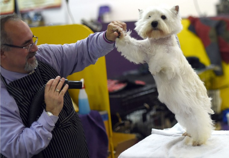 A West Highland White Terrier in the benching area at Pier 92 and 94 in New York City on the 2nd day of competition at the 139th Annual Westminster Kennel Club Dog Show February 17, 2015. (Timothy Clary/AFP/Getty Images)