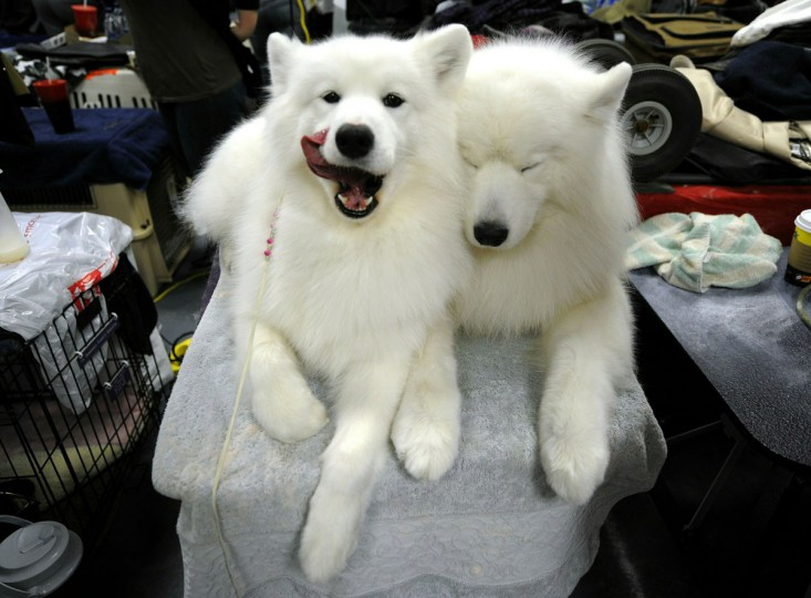 Two Samoyeds getting groomed in the benching area during the 135th Westminster Kennel Club Dog Show at Madison Square Garden in New York, February 15, 2011. (Timothy Clary/AFP/Getty Images)