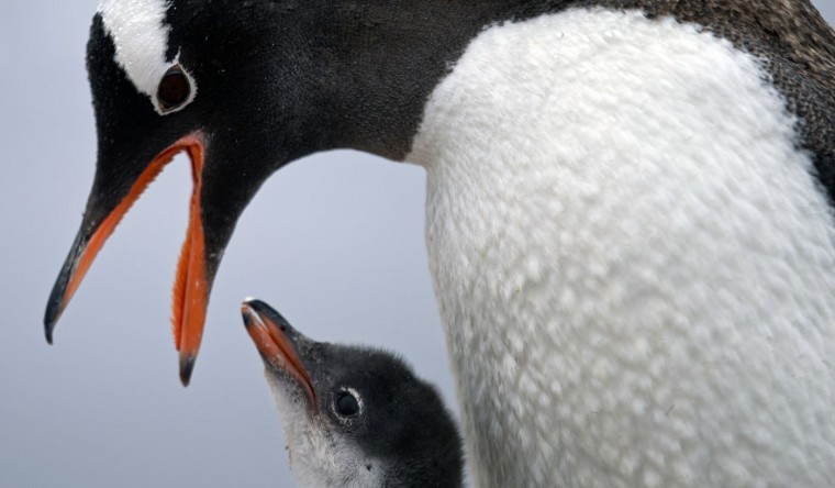 "In this Jan. 22, 2015 photo, a Gentoo penguin feeds its baby at Station Bernardo O'Higgins in Antarctica. ""To understand many aspects in the diversity of animals and plants it's important to understand when continents disassembled,"" said Richard Spikings, a research geologist at the University of Geneva. ""So we're also learning about the real antiquity of the Earth and how (continents) were configured together a billion years ago, half a billion years ago, 300 million years ago,"" he said, adding that the insights will help him understand Antarcticaís key role in the jigsaw of ancient super continents. (AP Photo/Natacha Pisarenko)"
