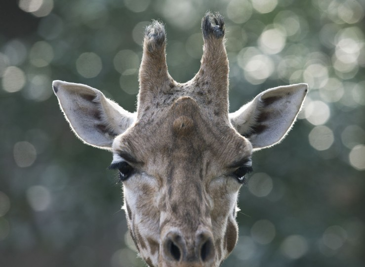 A giraffe observes visitors on a sunny day at Ouwehands Zoo in Rhenen, Netherlands, Thursday, Feb. 19, 2015. (Peter Dejong/AP Photo)