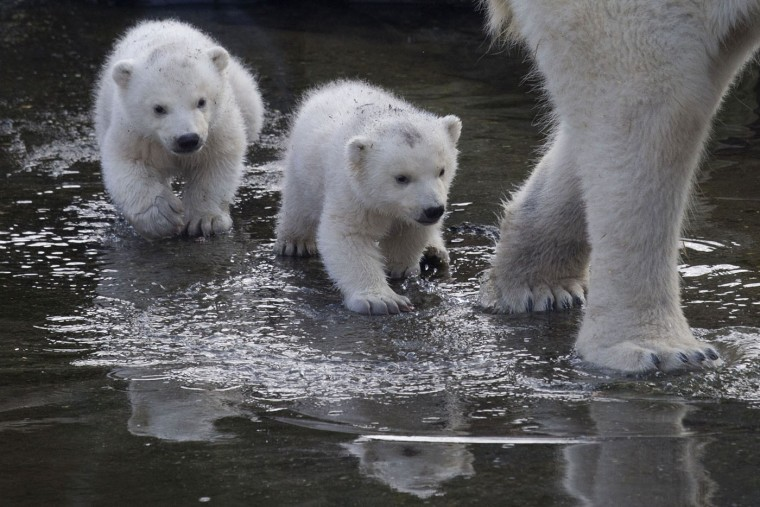 Two polar bear cubs follow their mother as they venture outside their enclosures for the first time since they were born at Ouwehands Zoo in Rhenen, Netherlands, Thursday, Feb. 19, 2015. Three cubs were born Nov. 22, 2014 but one of the triplets died soon after birth, the cub's mother and grandmother live at the zoo, their father now lives at the Yorkshire Wildlife Park in England. (Peter Dejong/AP Photo)