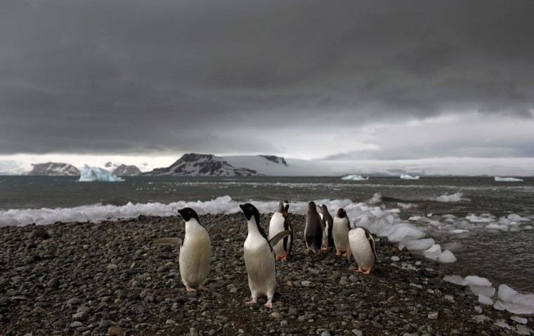 "In this Jan. 27, 2015 photo, penguins walk on the shore of Bahia Almirantazgo in Antarctica. Antarctica ""is big and it's changing and it affects the rest of the planet and we can't' afford to ignore what's going on down there,"" said David Vaughan, science director of the British Antarctic Survey. (AP Photo/Natacha Pisarenko)"