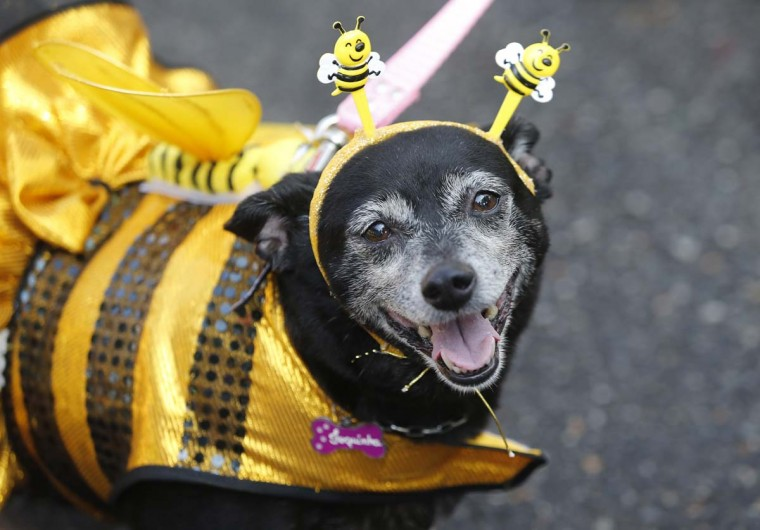 """A dog dressed for carnival is seen during the """"Blocao"""" dog carnival parade in Rio de Janeiro, Brazil. Carnival goes to the dogs as pet owners take to the streets for their own party, with their four-legged friends in ornate costumes. AP Photo/Silvia Izquierdo"""