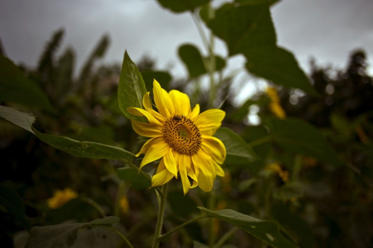 In this Thursday, Jan. 29, 2015 photo, a wild bee forages on a sunflower on a farm where self-employed flower vendor Yaima Gonzalez Matos waits to buy, in San Antonio de los Banos, Cuba. Every Monday and Thursday morning, Gonzalez leaves her home in San Antonio de los Banos, a town outside Havana, to visit a dozen farmers who sell her sunflowers, orchids, lilies and other blooms. (AP Photo/Ramon Espinosa)