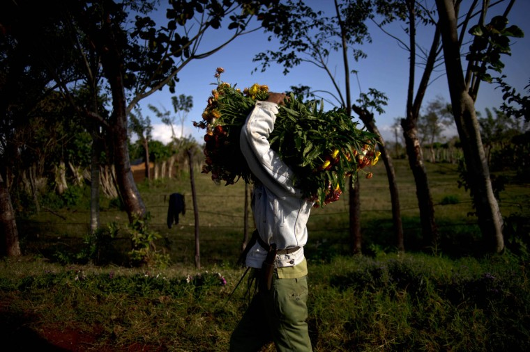 In this Thursday, Jan. 29, 2015 photo, a farmer carries fresh cut flowers purchased by self-employed Yaima Gonzalez Matos, 33, to her rented car, in San Antonio de los Banos, Cuba. Gonzalez joined the ranks of Cuba's small class of entrepreneurs three years ago when she lost her job in human resources at a state-owned enterprise. To support herself and her son, she followed the example of friends working in the island's new private flower business. (AP Photo/Ramon Espinosa)