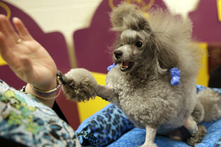 Lori Logli plays with her toy poodle, Manny, in the benching area at the Westminster Kennel Club dog show Monday, Feb. 16, 2015, at Madison Square Garden in New York. (AP Photo/Mary Altaffer)