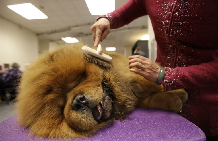 Yang Ling, of Beijing, China, grooms her Chow Chow named Kun Lung in the benching area of the Westminster Kennel Club dog show, Monday, Feb. 16, 2015, at Madison Square Garden in New York. (AP Photo/Mary Altaffer)