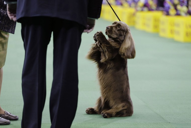 A Sussex spaniel competes with the sporting group at the Westminster Kennel Club dog show Tuesday, Feb. 17, 2015, in New York. (AP Photo/Frank Franklin II)