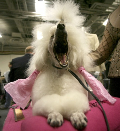 Dolly, a miniature poodle from Silver Lake, Or., yawns as she is groomed backstage during the 133rd annual Westminster Kennel Club dog show Monday, Feb. 9, 2009 at Madison Square Garden in New York. (AP Photo/Mary Altaffer)