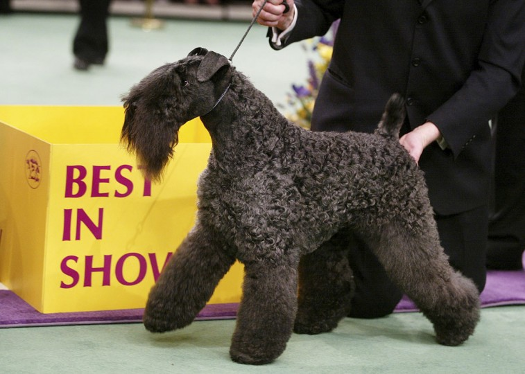 Kerry blue terrier Torums Scarf Michael, commonly known as Mick, poses after winning the Best of Show award on the final day of the 127th Westminster Kennel Club Dog Show at Madison Square Garden February 11, 2003 in New York City, New York. Over 2600 canines competed in the show. (Photo by Mario Tama/Getty Images)