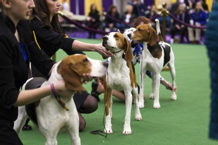 Treeing Walker Coonhounds line up during the breed's first Best of Breed competition at the 137th Westminster Kennel Club Dog Show in New York, February 11, 2013. More than 2,700 prized dogs will be on display at the annual canine competition. (Lucas Jackson/Reuters)
