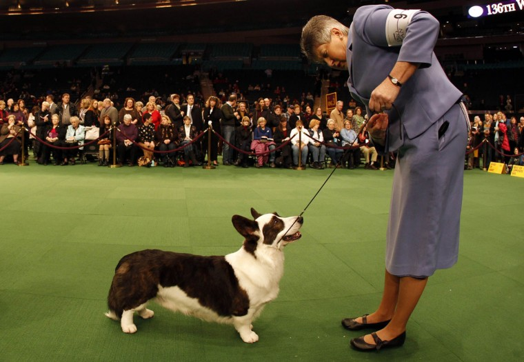 Handler Dixie Rae shows Cardigan Welsh Corgi Myste Baledwr Free to Disagree during the 136th Westminster kennel Club Dog Show in New York's Madison Square Garden, February 13, 2012. (Mike Segar/Reuters)