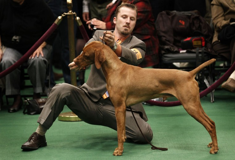 Starr-Point's Celtic Red, a Vizslas, stands in the ring with handler Joseph Buchanan during judging in the Sporting Group at the 135th Westminster Kennel Club Dog Show in New York, February 15, 2011. (Mike Segar/Reuters)