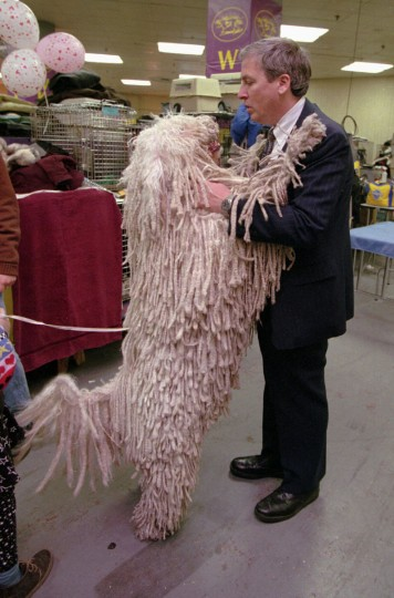 "John Grad, of Alexandria, Va., plays with ""Mop"" a Komondorok, at the Westminster Dog show on February 12, 1996. Grad is Mop's owner. (Kenneth K. Lam/Baltimore Sun)"