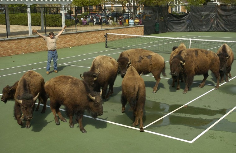 "Nine bison escaped from a farm in Stevenson owned by Gerald ""Buzz"" Berg, and as they headed south toward the Beltway police were able to corral them into a fenced tennis court at the Greene Tree townhome complex, off Hooks Lane. (Amy Davis/Baltimore Sun)"