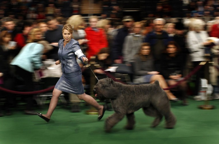 A handler shows a Bouviers Des Flandres during the 136th Westminster kennel Club Dog Show in New York's Madison Square Garden, February 13, 2012. (Mike Segar/Reuters)
