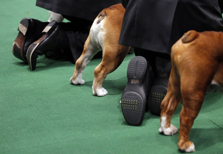 Bulldogs and handlers are seen in the ring during competition at the 136th Westminster Kennel Club Dog Show in New York's Madison Square Garden, February 13, 2012. (Mike Segar/Reuters)