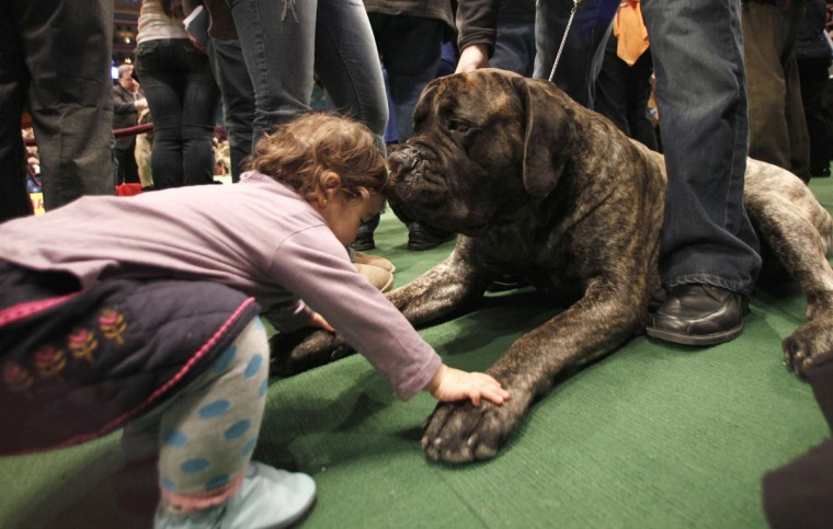 One-year-old Vienna Valazia of New York City plays with Guinness, an English Mastif as Guinness waits for his breed to be judged at the 135th Westminster Kennel Club Dog Show in New York, February 15, 2011. (Mike Segar/Reuters)