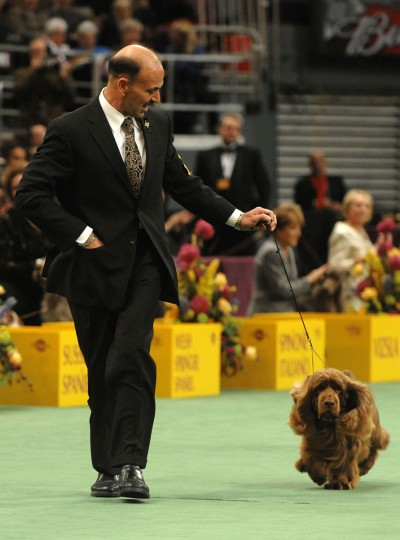 Handler Scott Sommer and his Sussex spaniel Stump run in the ring during the Sporting Group competition, which Stump won, during the 133rd annual Westminster Kennel Club Dog Show in New York, on Tuesday, Feb. 10, 2009. (AP Photo/Peter Kramer)