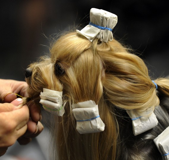 Duncan the Maltese gets groomed backstage during the 2009 133rd Westminster Kennel Club dog show at Madison Square Garden in New York February 10, 2009. (Timothy Clary/AFP/Getty Images)