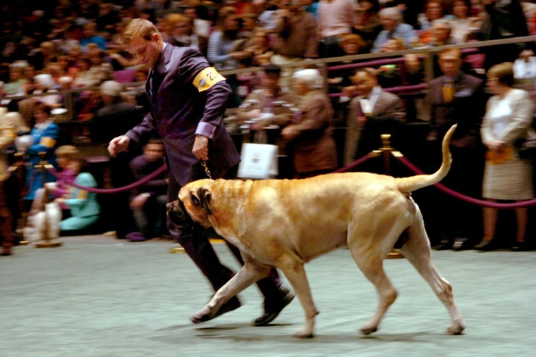 Champion Systos George Bailee takes the ring at the Westminster Dog Show held at Madison Square Garden with handler Kevin Bednar. (Monica Lopossay/Baltimore Sun)