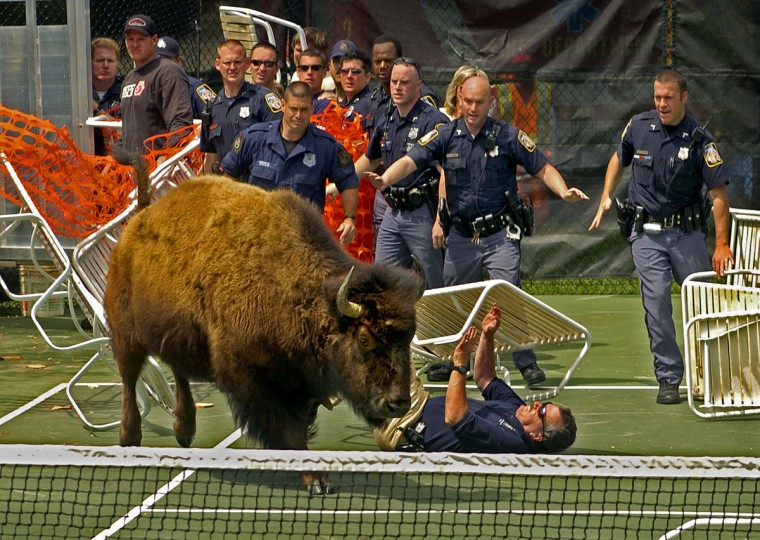 After herding nine escaped bison onto a tennis court, the challenge continued for Baltimore County police. The last bison they were attempting to herd into a truck broke free, trampling a makeshift barrier of lawn chairs and netting, and knocking down a police officer. (Amy Davis / Baltimore Sun)