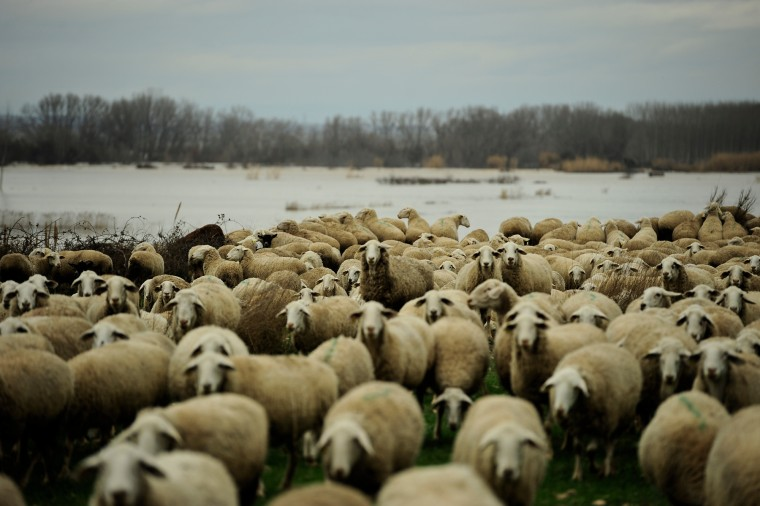Sheep stand near to landscape covered by water in the small town of Boquineni, northern Spain. Heavy rain has lead to flooding in northern Spain over the past few days, especially in Navarra and Aragon provinces. (Alvaro Barrientos/Associated Press)