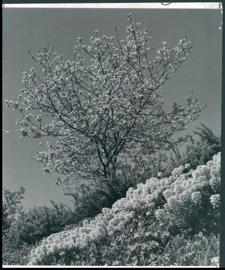 April 8, 1962: Trees bloom at the start of spring. Photo by William L. Klender