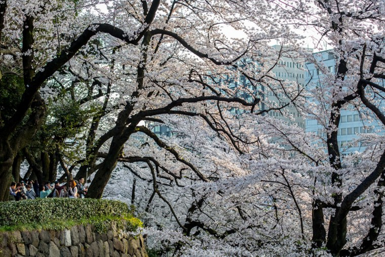 People view blooming cherry blossom trees at Chidorigafuchi on March 31, 2015 in Tokyo, Japan. The Cherry blossom season begins in Okinawa in January and moves north through Feburary peaking in Kyoto and Tokyo at the end of March and lasting just over a week. (Photo by Chris McGrath/Getty Images)
