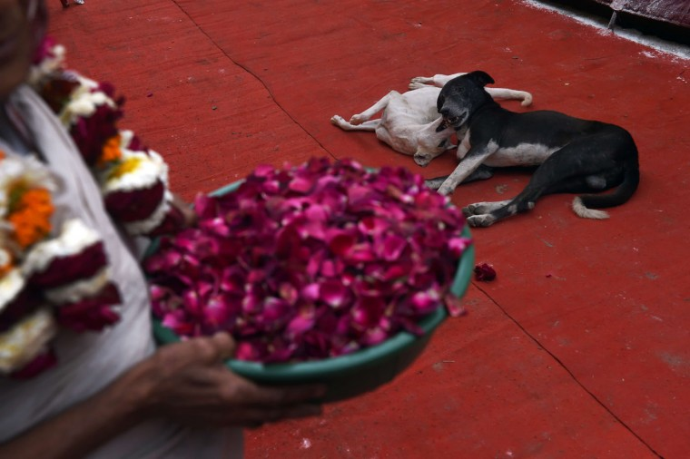 "Two stray dogs play at the entrance of an ashram before Indian widows celebrate Holi or ""festival of colors"" in Vrindavan on March 3, 2015. Widows congregated on a small patio of the ashram in which they live and danced and played with colored powder to celebrate the occasion. The widows of this and other ashrams in this northern town are sponsored by the NGO, Sulabh International which funds most of their needs. Shunned from society when their husbands die, not for religious reasons, but because of tradition, many Indian widows have been otracized from society and no longer live with their families and are forced to beg for food. Almost 2,000 of the estimated 34 million widows currently living in India live in Vrindavan and benefit from the welfare extended by the NGO. (Roberto Schmidt/AFP/Getty Images)"