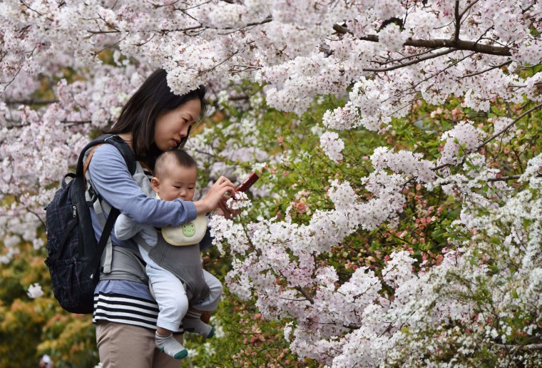 A mother tries to take pictures with her smartphone under cherry blossoms in full bloom in Tokyo on March 29, 2015. Many people in the Japanese capital enjoyed the sunny spring weekend. (Toru Yamanaka/AFP/Getty Images)