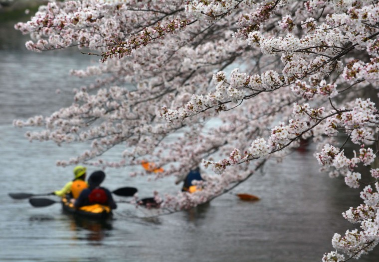 People row canoes past cherry blossoms trees in full bloom in Tokyo on March 29, 2015. (Kazuhiro Nogi/AFP/Getty Images)