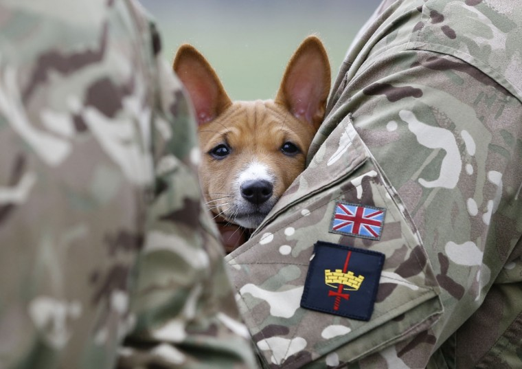 A basenji puppy looks out as he is held by a soldier watching the Household Cavalry Mounted Regiment parade in Hyde Park in London, Thursday, March 26, 2015. The regiment was undergoing their annual inspection to validate their ability to conduct state ceremonial duties for the year. 160 horses were paraded accompanied by the mounted Band of the Life Guards and Band of the Blues and Royals. (AP Photo/Kirsty Wigglesworth)