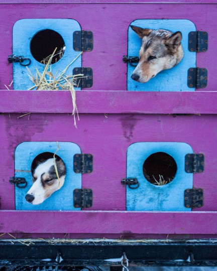 Dogs in Cindy Abbott's team poke their heads out of their trailer in the early morning hours before the start of the Iditarod Trail Sled Dog Race, Monday, March 9, 2015, in Fairbanks, Alaska. Iditarod mushers began their 1,000-mile trek across Alaska along a new route Monday after poor trail conditions forced organizers to push the race's start north, bypassing a mountain range. (AP Photo/Alaska Dispatch News, Loren Holmes)