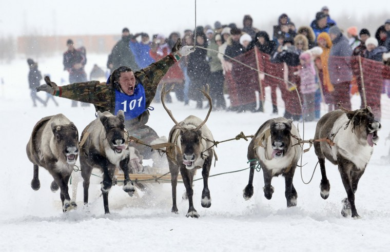 In this photo taken on Sunday, March 15, 2015, a Nenets man takes part in a reindeer race at the Reindeer Herder's Day in the city of Nadym, in Yamal-Nenets Region, 2500 km (about 1553 miles) northeast of Moscow, Russia. For the indigenous nomadic Nenets people, the Reindeer Herderís Day offers a chance to show their prowess in wrestling, high jumps and other traditional local sports, but, above all, reindeer races. (AP Photo/Dmitry Lovetsky)