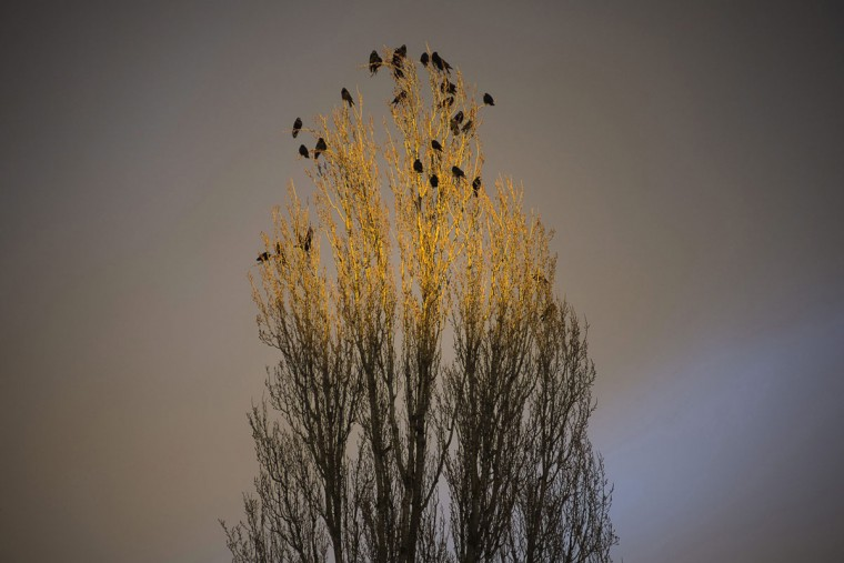Birds sit on top of a tree highlighted in the last rays of the Sun during sunset in Nyiregyhaza, Hungary, 226 kms east of Budapest, Tuesday, March 3, 2015. (AP Photo/MTI,Attila Balazs)