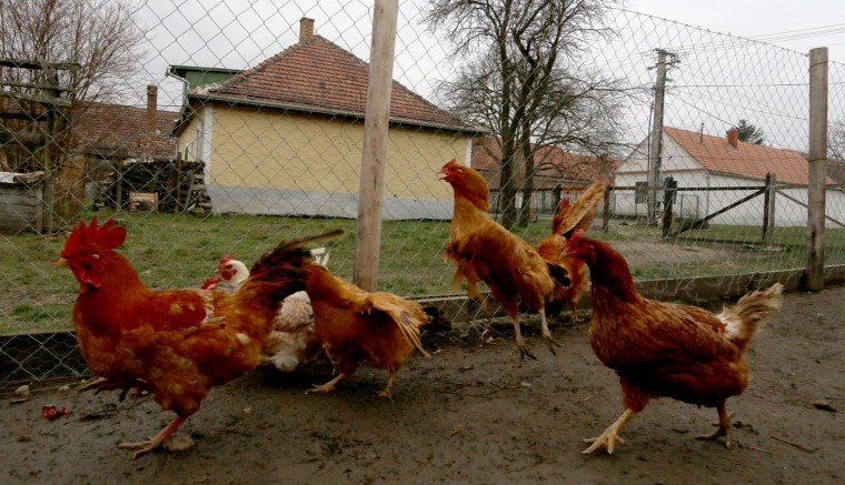 Chicken walk in the mud in their compound in the village of Megyer, Hungary, Friday, March 13, 2015. For 210,000 forints (US Dollar 730) a day, visitors get access to seven guest houses in the village that sleep 39 people, a bus stop, horses, chickens and four hectares (10 acres) of farm land. (AP Photo/Ronald Zak)
