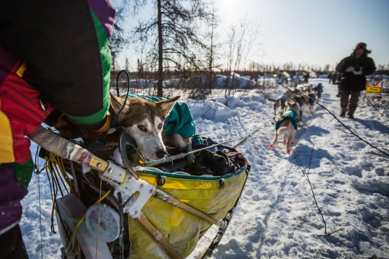 Sushi, a dog in musher Brian Wilmshurst's team, rides in the sled into the Manley Hot Springs, Alaska, checkpoint during the Iditarod Trail Sled Dog Race on Tuesday, March 10, 2015. Injured dogs are cared for by veterinarians at every checkpoint, and a musher can choose to drop a dog, leaving it with volunteers who will take it back to Anchorage. (AP Photo/Alaska Dispatch News, Loren Holmes)