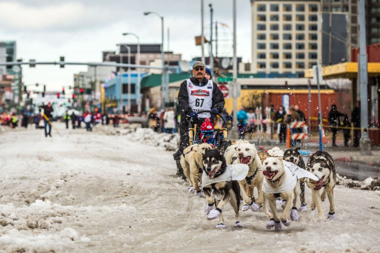 Musher Chuck Schaeffer and his team charge down Anchorage's 4th Avenue during the ceremonial start of the Iditarod sled sog race in Anchorage, Alaska on Saturday, March 7, 2015. A lack of snow forced race organizers to move the official start of the race to Fairbanks, but the ceremonial start remained in Anchorage. (AP Photo/Alaska Dispatch News, Loren Holmes)