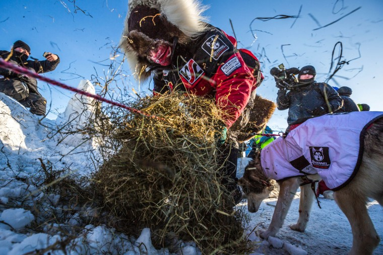 Aliy Zirkle lays down straw for her dogs at the Unalakleet checkpoint in the Iditarod on Sunday, March 15, 2015. Aaron Burmeister, 39, was the first musher to reach Unalakleet, the first checkpoint on the Bering Sea coast. (AP Photo/Alaska Dispatch News, Loren Holmes)