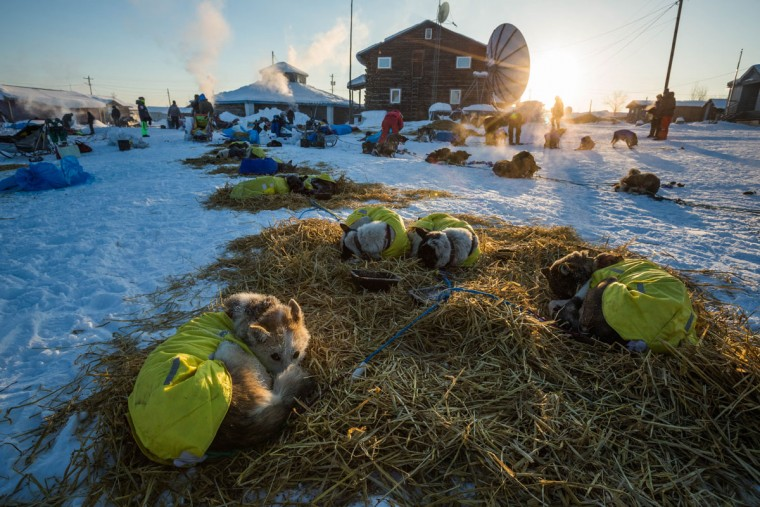 Wade Marrs' lead dog Pop, far left, curls up to keep warm at the Kaltag, Alaska, checkpoint during the Iditarod Trail Sled Dog Race, Sunday, March 15, 2015. (AP Photo/Alaska Dispatch News, Loren Holmes)