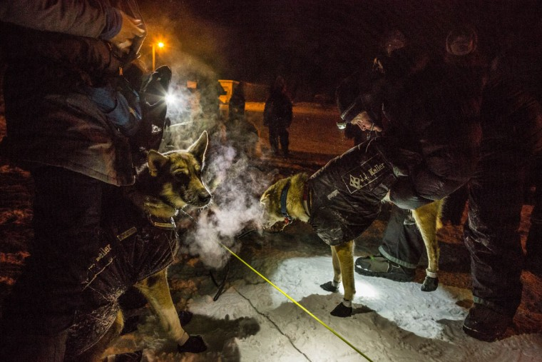 Veterinarians examine Dallas Seavey's dogs shortly after the team arrived in Huslia, Alaska on Thursday, March 12, 2015 during the Iditarod Trail Sled Dog Race. (AP Photo/Alaska Dispatch News, Loren Holmes)