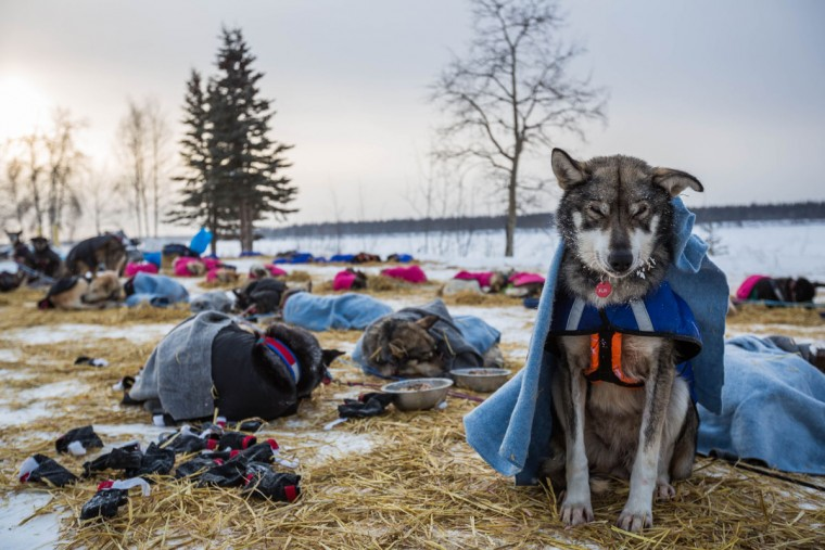 A dog in musher Steve Watkins' team rests sitting up at the Tanana, Alaska, checkpoint during the Iditarod Trail Sled Dog Race, Wednesday, March 11, 2015. (AP Photo/Alaska Dispatch News, Loren Holmes)